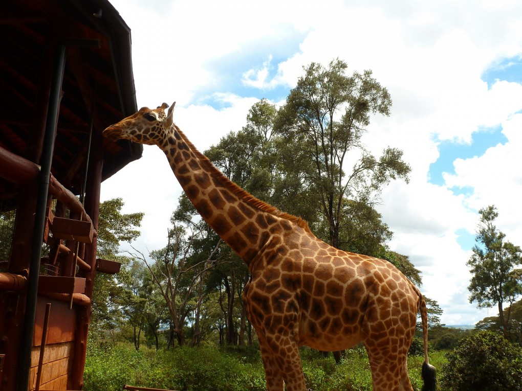 Girafe Center animaux kenya