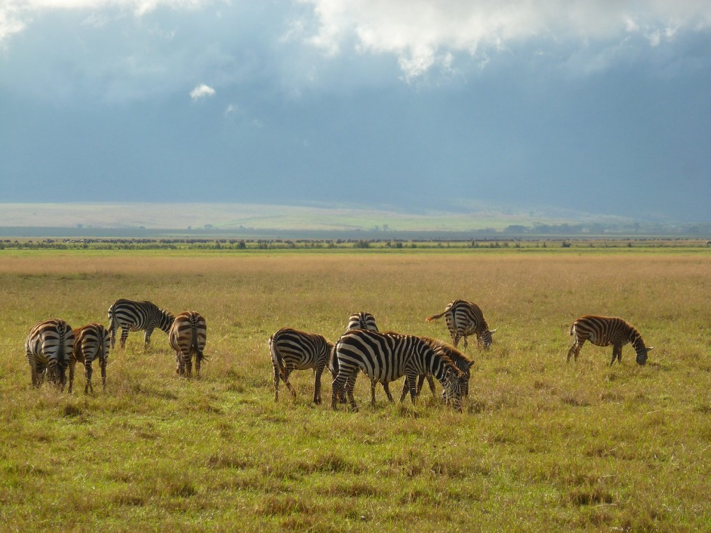 migration gnous serengeti