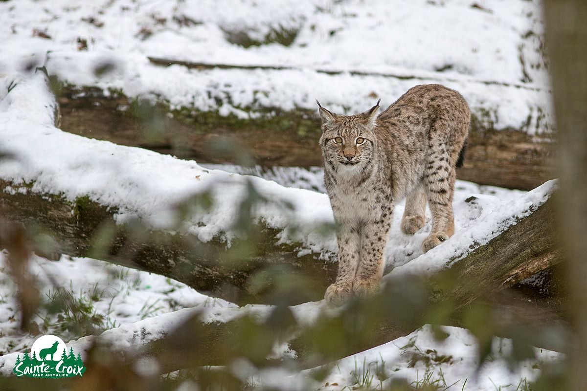 Protection lynx